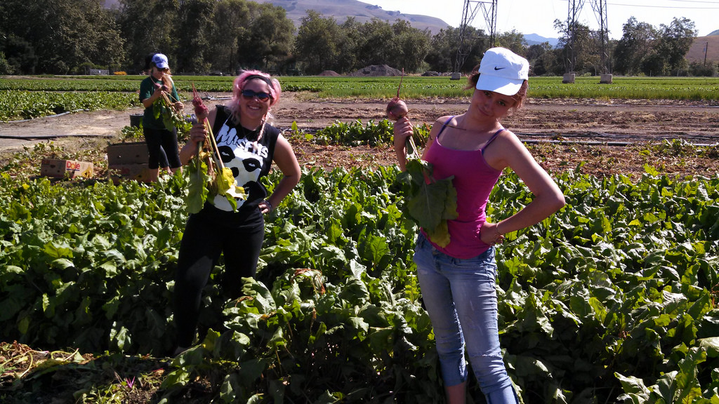 Beet glean at Talley Farm