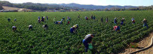 50 volunteers gleaned over 6,000 pounds of bell peppers and onions in less than 2 hours at Talley Farms.