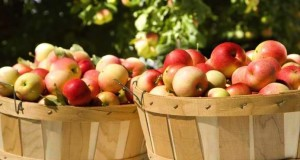 bushel_of_apples_1791838